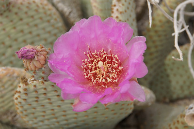 Beaver Tail Cactus Bloom