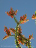 Ocotillo bloom and leaves (5)