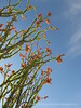 Ocotillo bloom and leaves