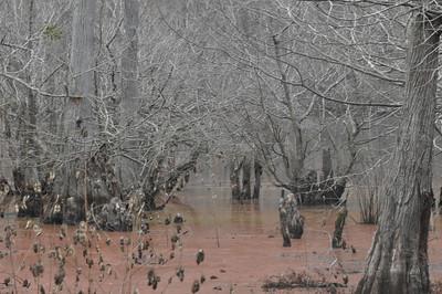 Area around a bird watching blind facing a cypress swamp