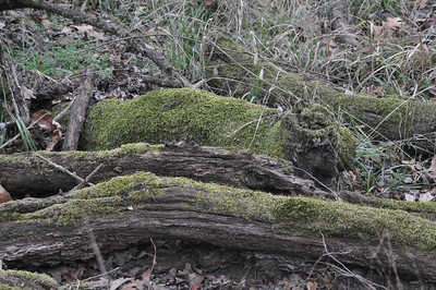 Same Bois d'Arc with moss growing on downed limbs.  Obviously this place gets a lot of water.