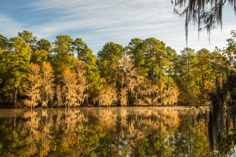 Cypress trees in fall color