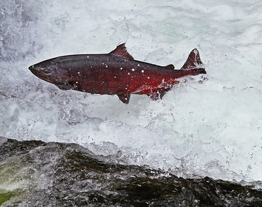 This King Salmon jumped all day long at the falls and never made the final leap. Latter in the afternoon a large female Brown Bear came into the water, found this fish and grabbed it. The rangers had been watch this female King for two days to monitor whether she had successfully made it over the falls. She didn't. You will see in the following shots her final destination. Food for a large Brown Bear.