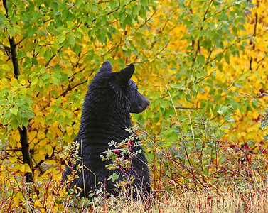 This is my Baylor Bear. He is a Black Bear, which is what the Baylor mascot is.