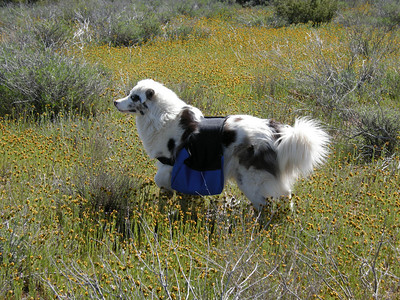 Sheila amongst the Fiddlenecks. She is a combination of Australian Shepherd and Great Pyrenees. Small birds seem to fascinate her; she runs bounding beneath them as they fly overhead.