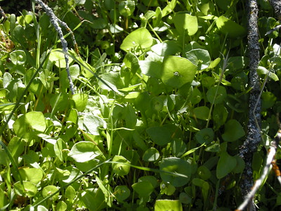 There was quite a profusion of miner's lettuce along some of the more shaded parts of the trail. Yum! (Well, I had a few handfuls; everyone else nibbled a few sample leaves, while watching to see if I would keel over from my excess!)