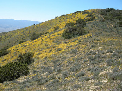 Another shot of the flower-strewn hillside. Another ridge of the coast range lies to the west in the distance.