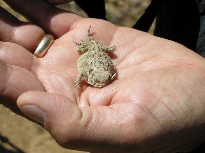 Tiny little horned lizard, on Sam's hand.