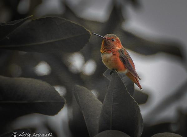 califiornia birds