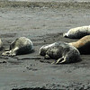 Seals near the Russian River mouth