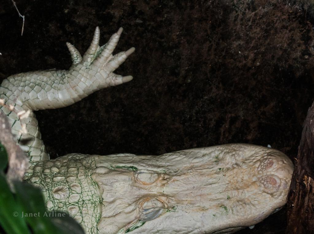 Claude-albino alligator