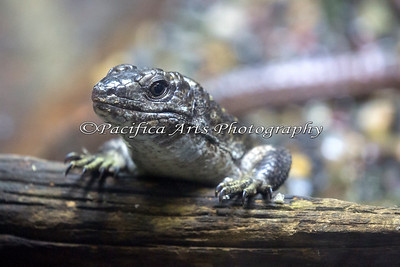 Madagascar Plated Lizard.  I stood back and took this with my 100-400 lens.