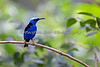 Red-legged Honeycreeper.  This is one FAST bird!