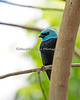 "Blue-necked Tanager ""camouflaged"" by a branch."