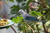 This Blue-gray Tanager has come down for a snack.