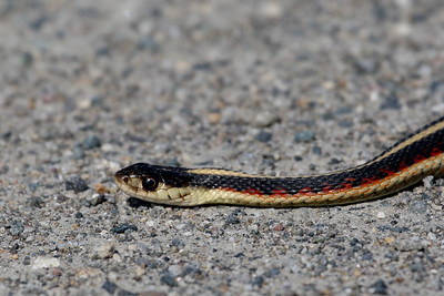 Valley Garter Snake (California Garter Snake)