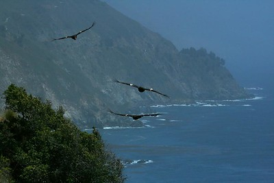 Big Sur, California, May 22, 2007. There are only about 150 free-flying California Condors in the world. Here are three in one photo, no tricks. We saw as many as 5 at once that day.