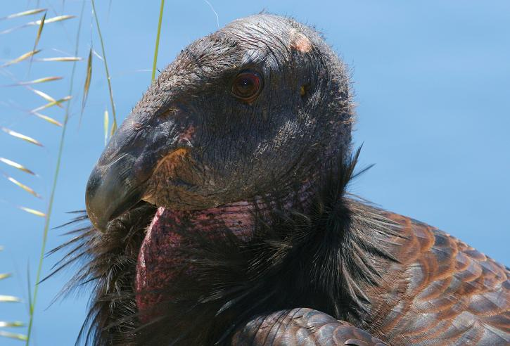 Condor #251, named Crush, May 22, 2007. The regal bird died in the summer of 2016 at age 15.