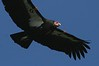 March 8, 2007. Condor #171 soars close overhead along the Big Sur Coastline, Calif.