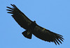 Condor #311, March 19, 2007, Big Sur
