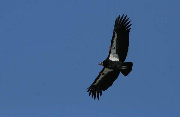 March 2007, Big Sur Coast. The two large numbers are the last two numbers of the bird's I.D. number, or 71. The single dot under them is the first digit. This is Condor 171.