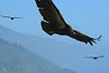 May 22, 2007. The constant updrafts along the high cliffs of the Big Sur Highway allow the Condors unlimited soaring opportunities, and often right next to the roadway.