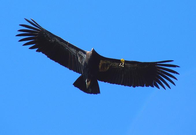 Condor, California, Dimage Z3Calif, Dec 06  Bird #311