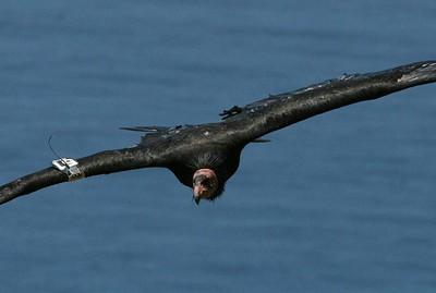 Condor #251, May 2007
