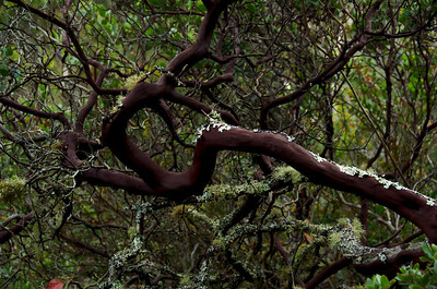 Arctostaphylos (Manzanita), Brook's Falls Trail, San Pedro Valley Park, Pacifica, California.