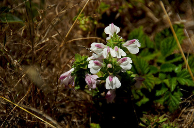 Bellardia trixago (Bellardia), Banquiano Trail, Sweeney Ridge, Pacifica, California.