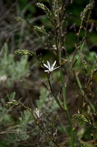 Chlorogalum pomeridianum (California Soaproot), Grey Whale Cove Trail, McNee Ranch State Park, Montara, California.