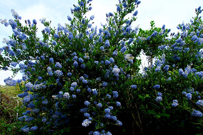 Ceanothus (California Lilac), Hazelnut Loop Trail, San Pedro Valley Park, Pacifica, California.
