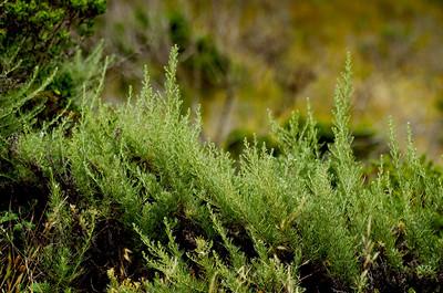 Artemisia californica (California Sagebrush), Hazelnut Loop Trail, San Pedro Valley Park, Pacifica, California.