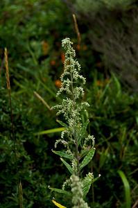 Artemisia douglasiana (Mugwort), San Pedro Mountain Road, Pacifica, California.