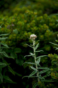 Anapahlis margaritacea (Pearly Everlasting), San Pedro Mountain Road, Pacifica, California.