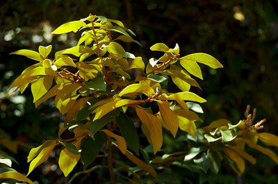 Chrysolepis chrysophylla (Golden Chinquapin), Hazelnut Loop Trail, San Pedro Valley Park, Pacifica, California.