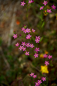 Centaurium muehlenbergii (June Centaury), Mori Point, Pacifica, California.