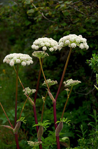 Angelica hendersonii (Coast Angelica), Valley View Trail, San Pedro Valley Park, Pacifica, California.