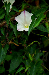 Calystegia purpurata (Pacific False Bindweed), Brook's Falls Trail, San Pedro Valley Park, Pacifica, California.