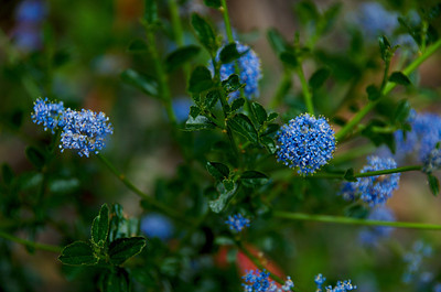 Ceanothus (California Lilac), Brook's Falls Trail, San Pedro Valley Park, Pacifica, California.