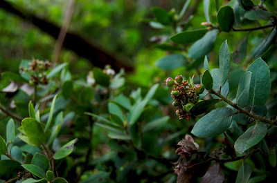 Arctostaphylos (Manzanita), Brook's Falls Trail, San Pedro Valley Park, Pacifica, California.