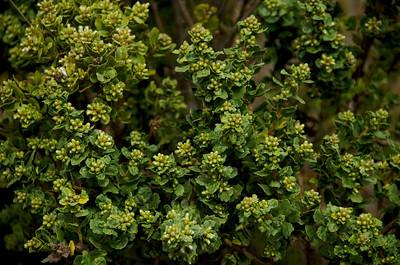 Baccharis pilularis (Coyote Brush), Mori Point, Pacifica, California.