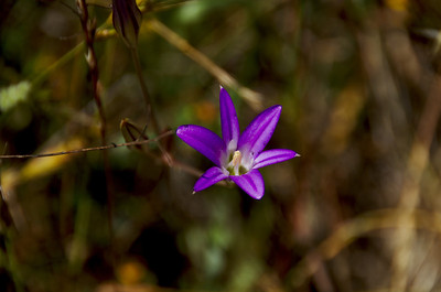 Brodiaea elegans (Elegant Brodiaea), Sylvan Trail, Edgewood County Park, Redwood City, California.