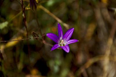 Brodiaea elegans (Elegant Brodiaea), Sylvan Trail, Edgewood County Park, Redwood City, California.