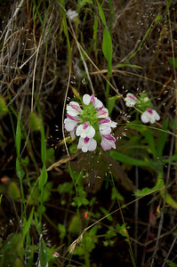 Bellardia trixago (Bellardia), Banquiano Trail, Sweeney Ridge, Pacifica, California.