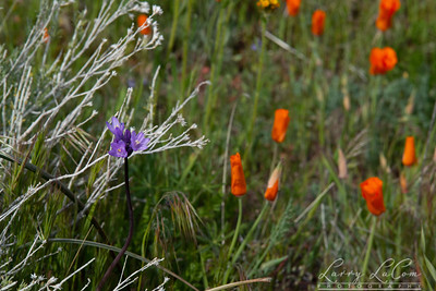 California Poppy Reserve March 2019