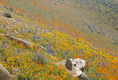 Hillside with California Wild Flowers