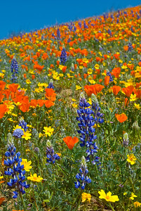 Lupin, California Poppies, and yellow flowers against a brilliant sky.