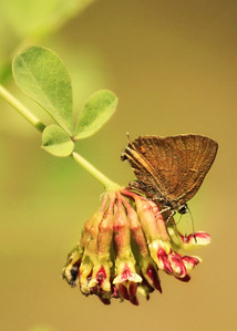 Golden Hairstreak on a Broad-leaved Lotus (Hosackia crassifolia)