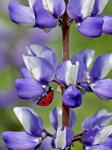 Seven-spotted Lady Beetle on Arroyo Lupine